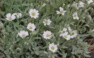 Ясколка: посадка и уход за чудесным растением, а также украшаем свой сад с помощью его