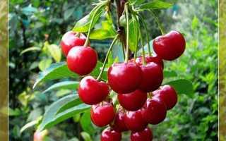 Самоплодные сорта вишни с описанием и фото