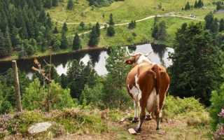 Монбельярдская порода коров: характеристика