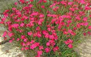Гвоздика травянка — посадка и уход, выращивание в саду