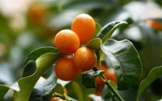 Как вырастить кумкват из косточки в домашних условиях: посадка, уход, цветение и плодоношение ( отзывы)