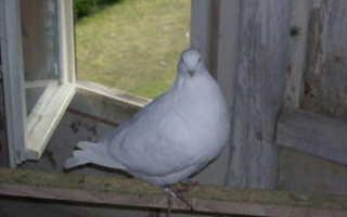 Сколько живут голуби домашние и городские