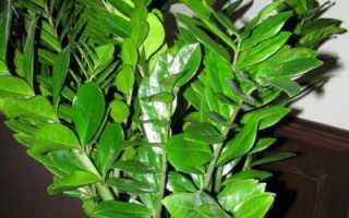 Загадочный цветок: таинственный замиокулькас, приметы и суеверия
