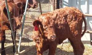 Болезнь коров: шишки на теле под кожей, что это такое и как лечить