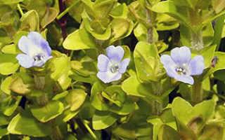 Бакопа ампельная: выращивание из семян, фото, посадка и уход в домашних условиях и саду