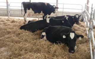 Ацидоз у коров: симптомы, причины, лечение