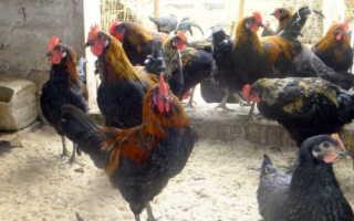 Моравская черная порода кур – описание и фото