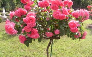 Штамбовые розы: вырастить своими руками, уход и посадка