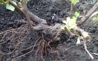 Пересадка винограда – от основ до хитростей бывалых дачников видео