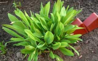 Как выращивать черемшу на даче семенами и луковицами, видео