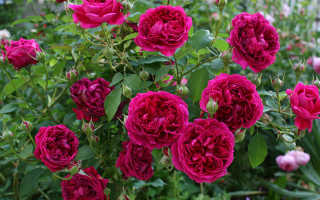 Роза Уильям Шекспир: фото, описание, условия выращивания