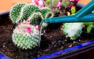 Как поливать кактус правильно — особенности ухода и подкормки растения