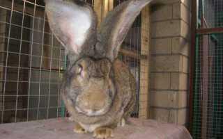 Почему у кролика горячие уши: физиология животного и возможные заболевания