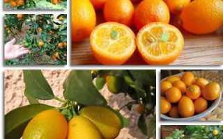 Кумкват – состав, польза и вред, калорийность