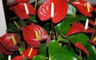 Антуриум красный (Семейное счастье): все об этом комнатном цветке, а именно можно ли его держать дома, как ухаживать, а также виды с названиями и фото растения