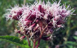 Цветок посконник: посадка и уход в открытом грунте, фото, виды и сорта
