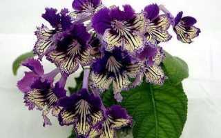 Фиалки на подоконнике, Streptocarpus, Стрептокарпус – проблемы и болезни