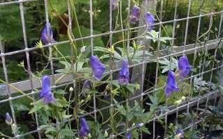 Каталог многолетних вьющихся растений