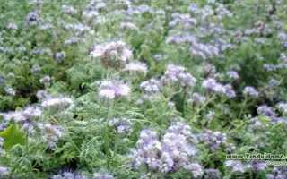 Фацелия как сидерат, Сайт о саде, даче и комнатных растениях
