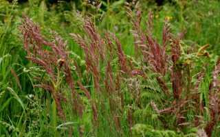 Овсяница красная: уход и выращивание газонной травы — Сад и огород