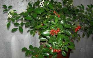 Выращивание мурайи в домашних условиях: описание, уход, фото растения