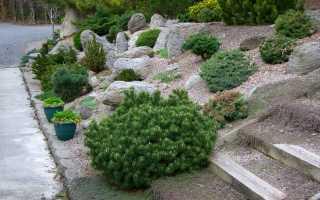 Сосна горная: виды и сорта с фото, посадка и уход