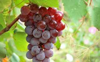 Виноград лидия: польза и вред, описание сорта, преимущества и недостатки