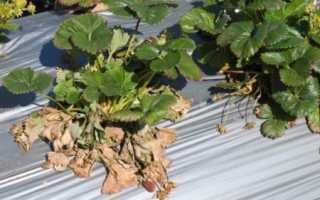 Лечение вертициллезного увядания клубники (12 фото): как лечить народными средствами, есть ли устойчивые к болезни сорта растения