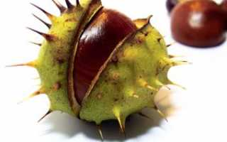 Как вырастить каштан из ореха в домашних условиях и в открытом грунте