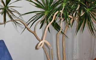Драцена — размножение в домашних условиях черенками, отводками и семенами, фото, видео