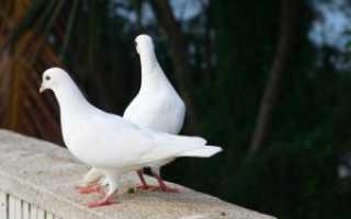 Понос у голубей: что дать, как и чем лечить