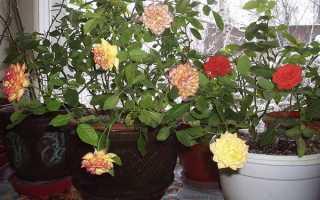 Чайная роза: уход и размножение в домашних условиях