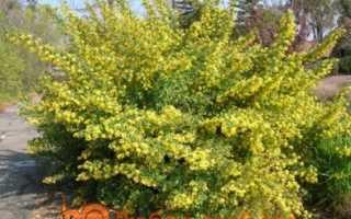 Золотистая смородина — ароматное золото в саду!