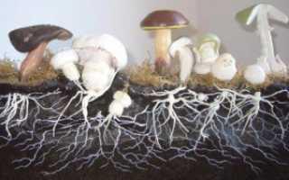 Что такое мицелий (грибница) и как его вырастить