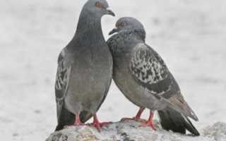 Почему при ходьбе голуби кивают головой? Разгадка в биологии