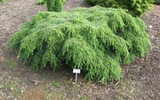 Тсуга канадская (tsuga canadensis): описание растения, виды, рекомендации по уходу