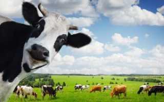 Абсцесс у коровы: симптомы и лечение