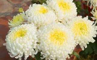 Как выращивать хризантемы дома из семян