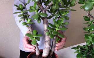 Денежное дерево как формировать крону толстянки схема, способы
