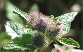 Что лечит лопух: рецепты лечения листьями и корнем лопуха, Здоровье как усилие воли