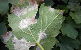 Болезнь милдью винограда: лечение и фото, обработка, чем лечить