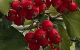 Рецепты сохранения боярышника на зиму: заморозка, сушка, варенье и другие варианты заготовки ягод