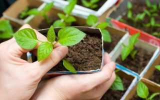 Подготовка семян перца к посеву на рассаду — замачивание, закаливание, барботирование