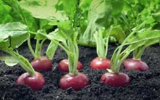 Выращивание редиса в теплице: инструкция для начинающих от посева до сбора урожая