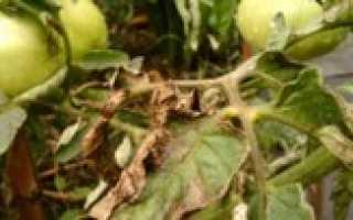 Как избавиться от фитофторы на помидорах, На грядке ()