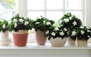 Гардения- уход и выращивание жасминовидной гардении в домашних условиях