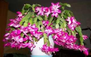 Секреты цветения Шлюмбергеры