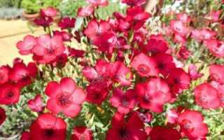 Лен крупноцветковый: выращивание из семян