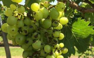 Фунгицид для обработки винограда: новые препараты, схема применения