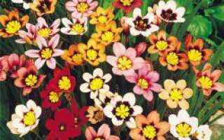 Спараксис: посадка и уход, выращивание в открытом грунте